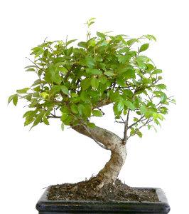 Jak na bonsai