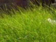 Trawnika