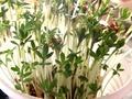 Jak zasadzić rzeżuchę