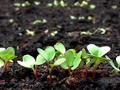 Zadbaj o nie na każdym etapie – na co zwrócić uwagę przy siewie roślin wczesnych